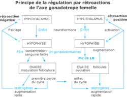 La régulation de la fonction reproductrice - illustration 4