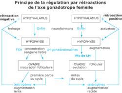 Régulation de la fonction reproductrice - illustration 3