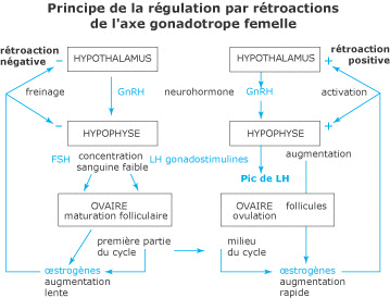 biologie la reproduction les cycles sexuels et la r gulation de la s cr tion des hormones. Black Bedroom Furniture Sets. Home Design Ideas