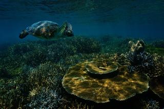 Tortue sur un récif corallien