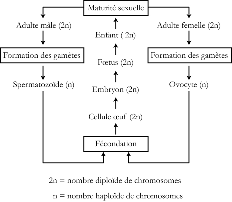 Les etapes de la meiose pdf to excel