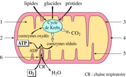 La respiration cellulaire - illustration 1
