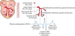 Fonctionnement du coeur et régulation de l'activité cardiaque - illustration 4