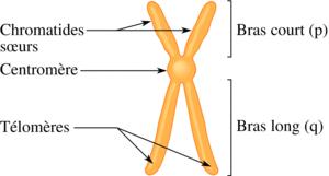 Chromosomes et caryotypes - illustration 1