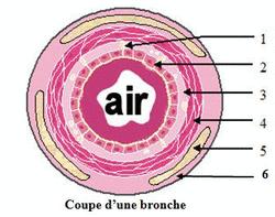 Anatomie et histologie de l'appareil respiratoire - illustration 4
