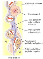 Barrière alvéolo-capillaire