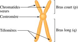 Le chromosome au cours du cycle cellulaire - illustration 1