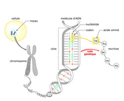 Le chromosome au cours du cycle cellulaire - illustration 2