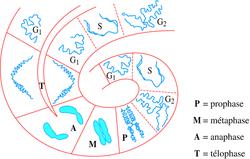 Le chromosome au cours du cycle cellulaire - illustration 4