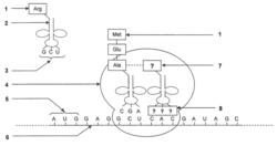 Schéma de la traduction d'un ARNm en chaîne polypeptidique